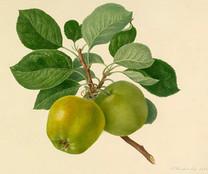 Spring Grove Codlin Apple (dwarf)