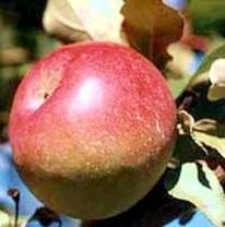 Snow Apple (Fameuse) Apple (medium)