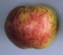 Gravenstein Apple (medium)
