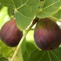 Black Genoa Fig