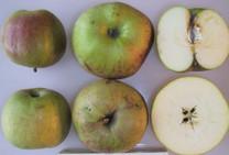 Roundway Magnum Bonum Apple (dwarf)