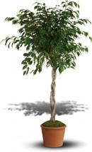 Towering Ficus