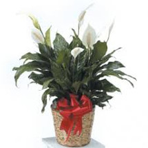 * SPECIAL * $39.99  Peace Lily Tropical Plant   reg. $44.99 (Local Delivery Only)