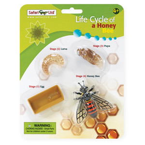 Life Cycle Honey Bee
