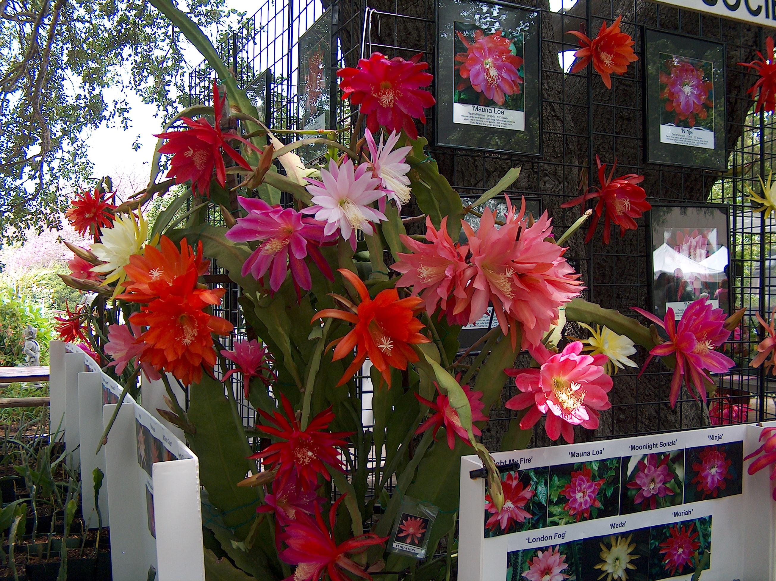 Epiphyllum display
