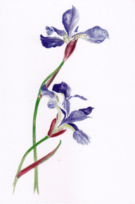 Garden Flower Cards - From Original Watercolours - Pack of 5 - Iris