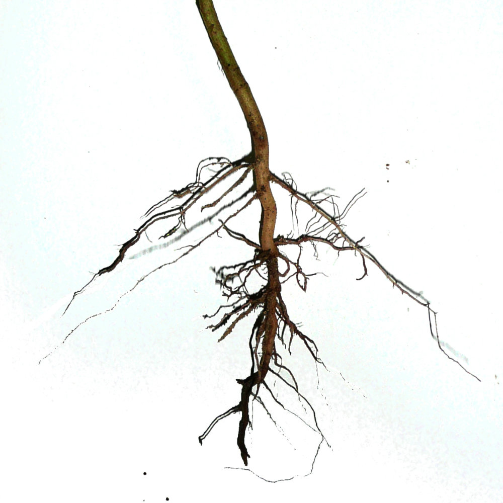 Diagram of roots