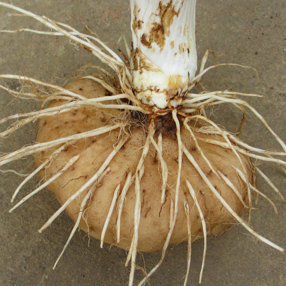 Picture of a tuber