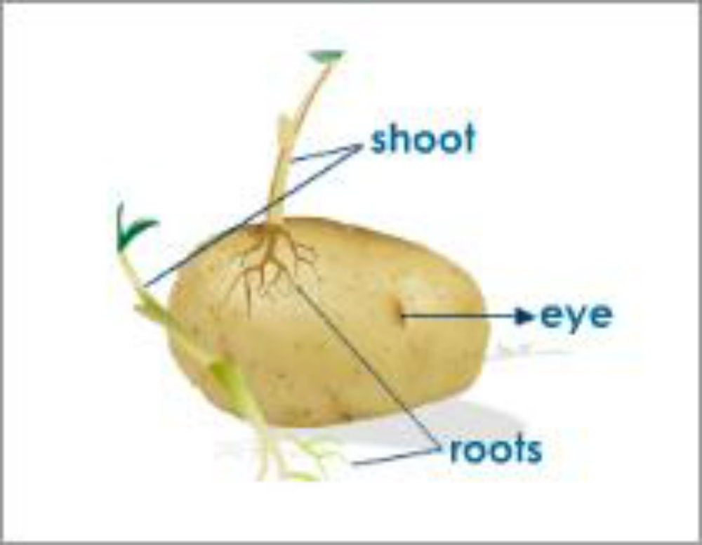 Parts of a Tuber