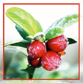 RED TOCOL ARCTIC CRANBERRY SEED OIL