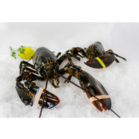 Two 1.5 - 1.75 Lb. Live Lobsters