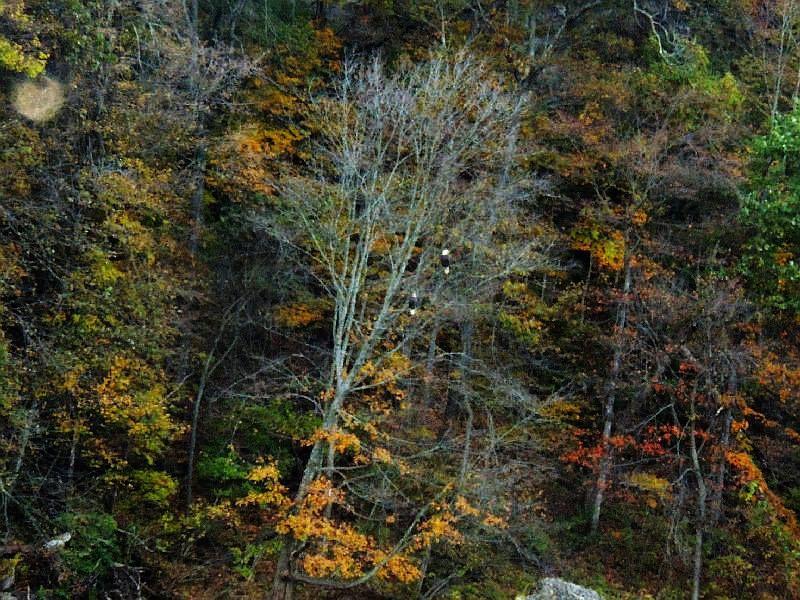 Eagles in Autumn on the Maquoketa