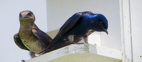 How to Choose a Purple Martin House
