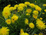 A Spring Blessing...Dandelions