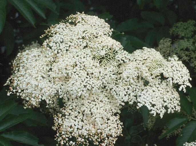 Elderflower (Sambucus caerulea)