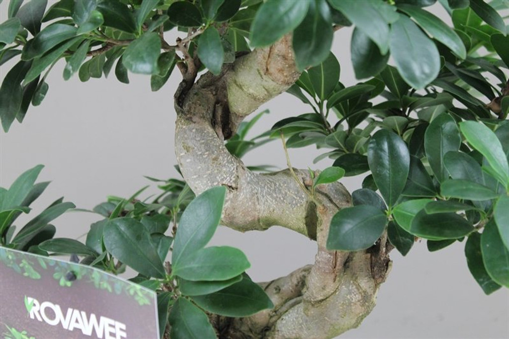 Ficus Bonsai Large Oval