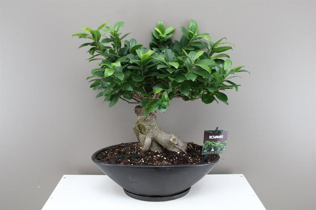 Banyan Fig Bonsai in Ceramic Planter - Ficus Ginseng - Range of ...