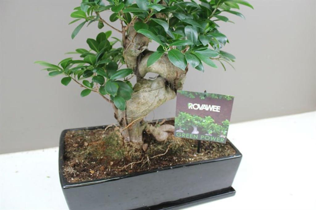 Ceramic potted S Type Ficus Banyan Tree
