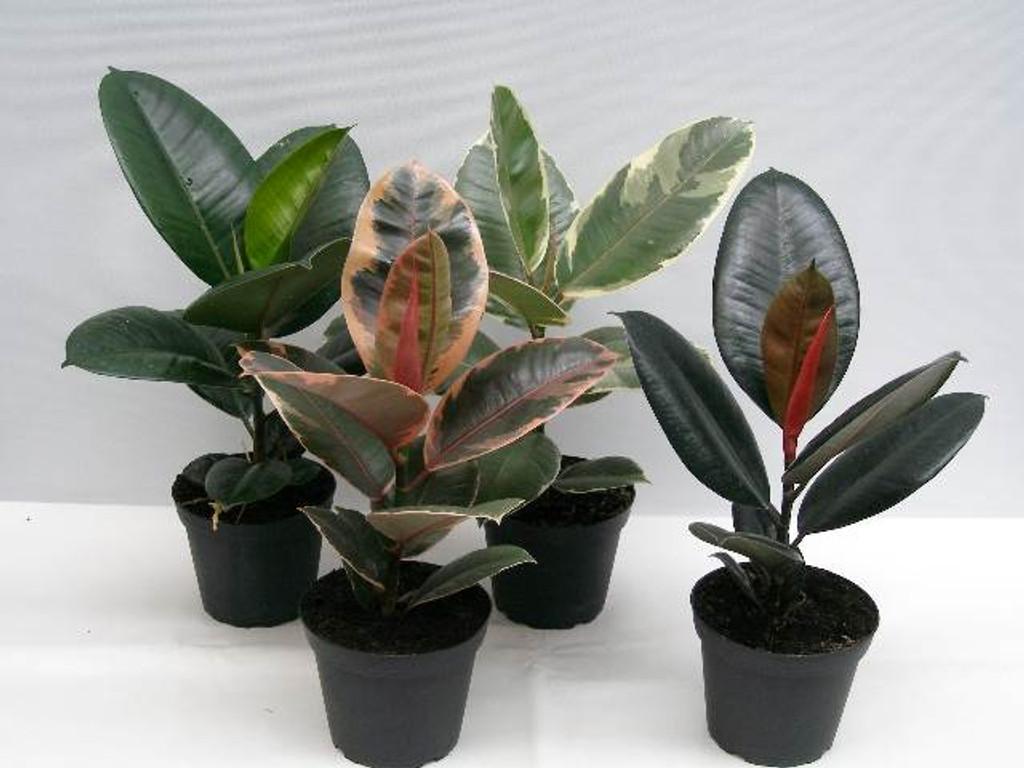 Rubber Plant Mix - Ficus Pot 13cm