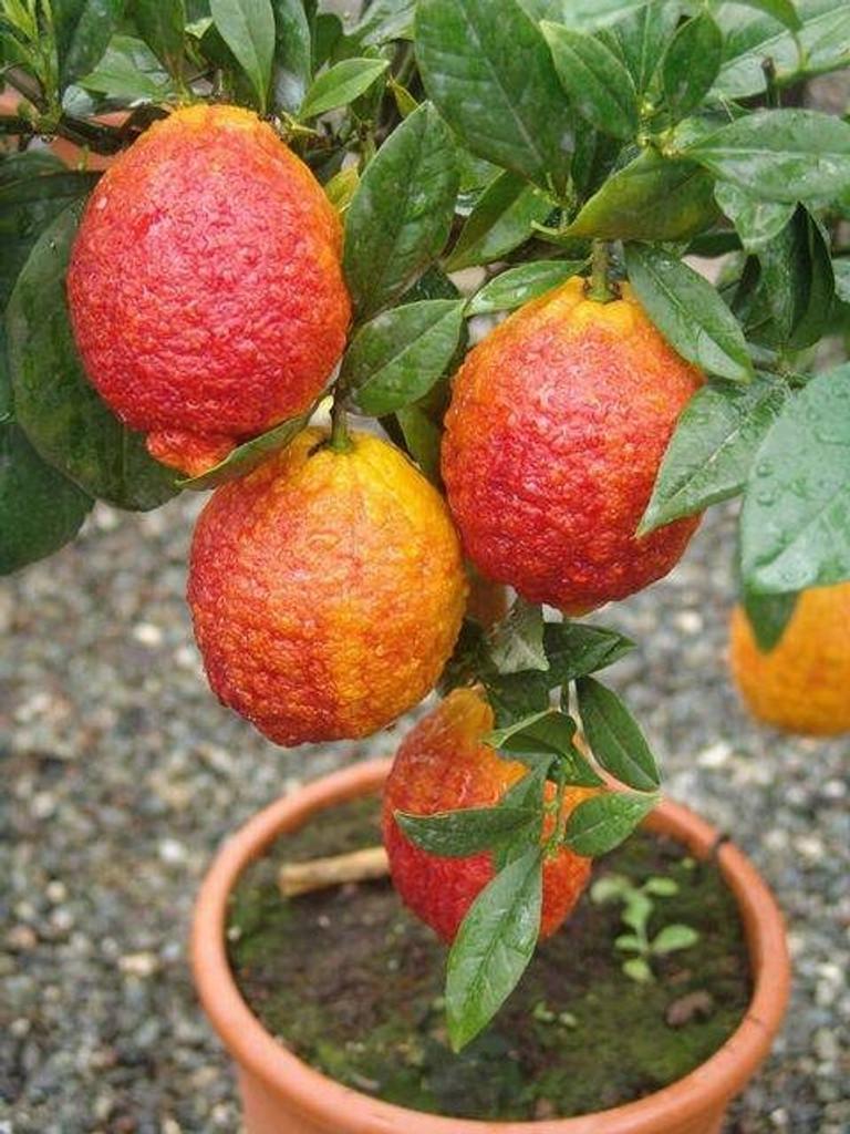 Exotic lemon tree