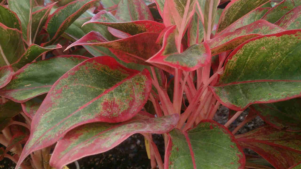 Red chinese evergreen