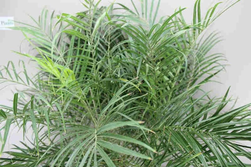 Phoenix Roebelinii leaves
