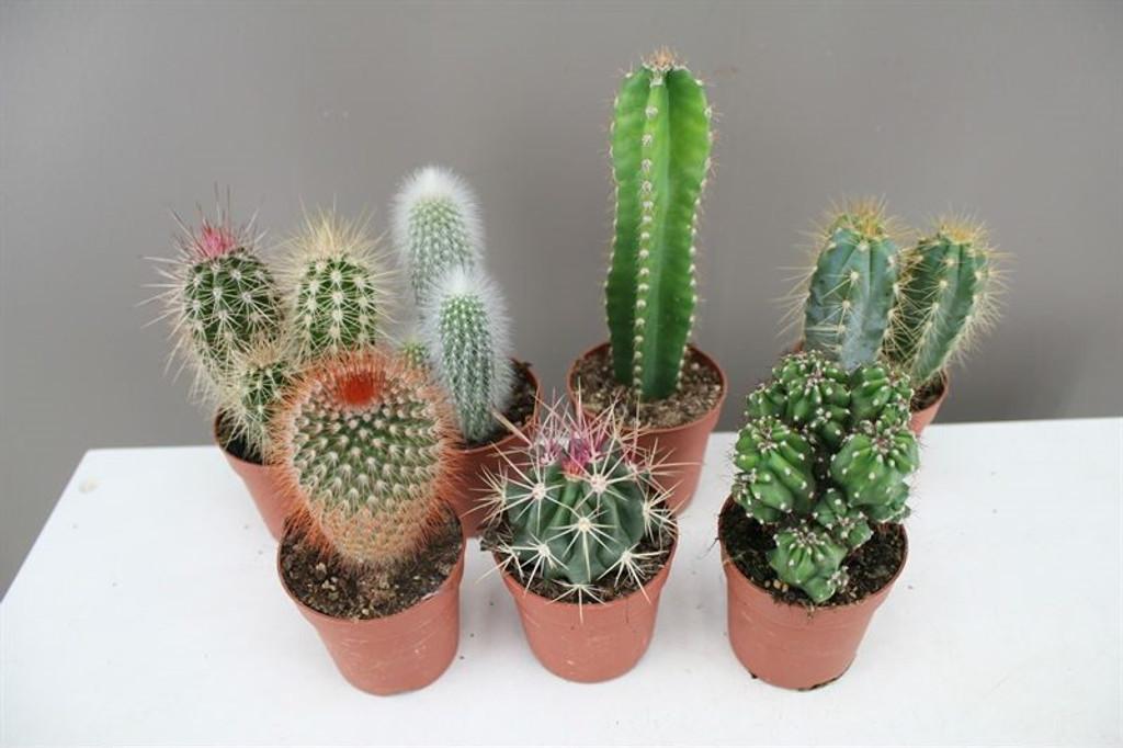 Large Cactus Mix