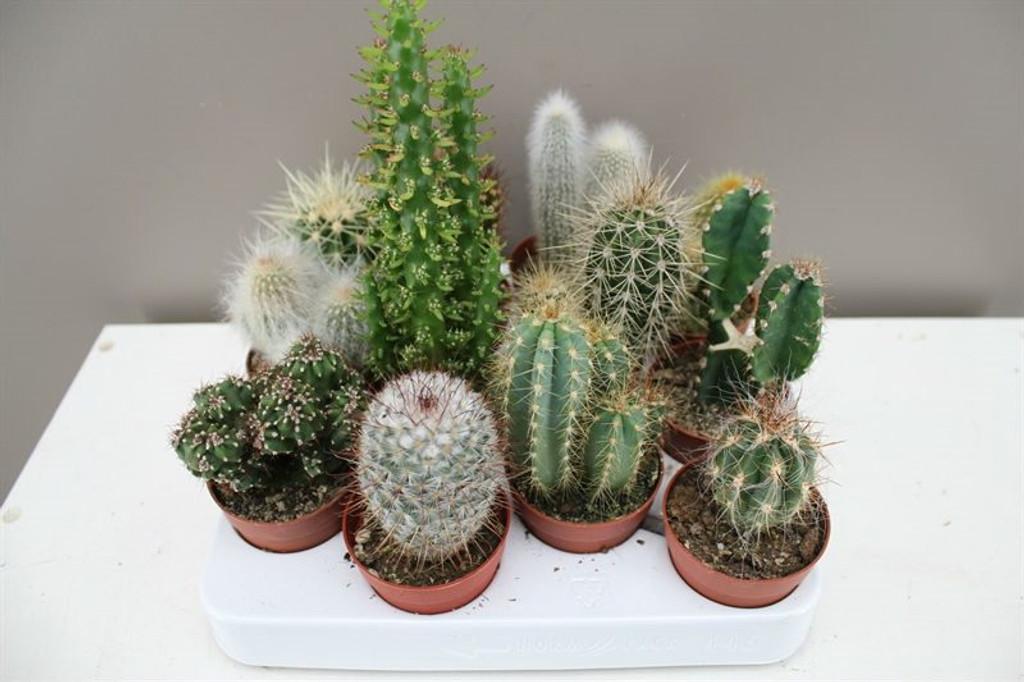 Cactus Gift Set