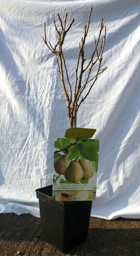 Dwarf Patio Pear Tree