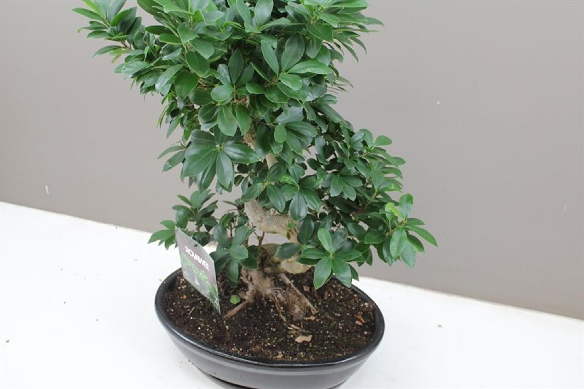 Banyan Oval Fig Bonsai