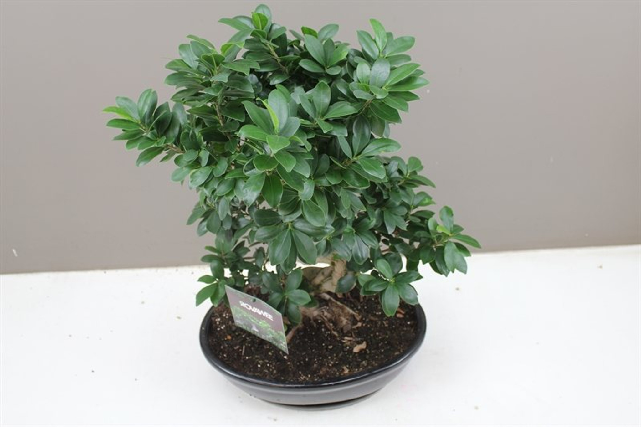 Ceramic potted Large Ficus Ginseng