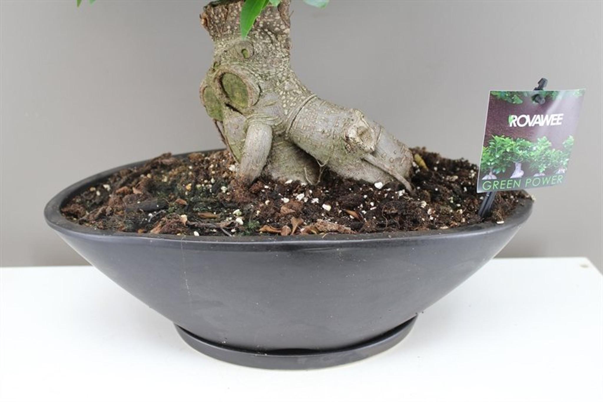 Oval Planter Banyan Fig Bonsai