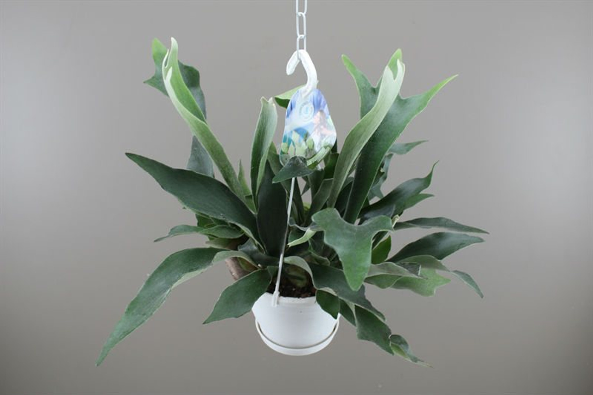 Common Staghorn Fern