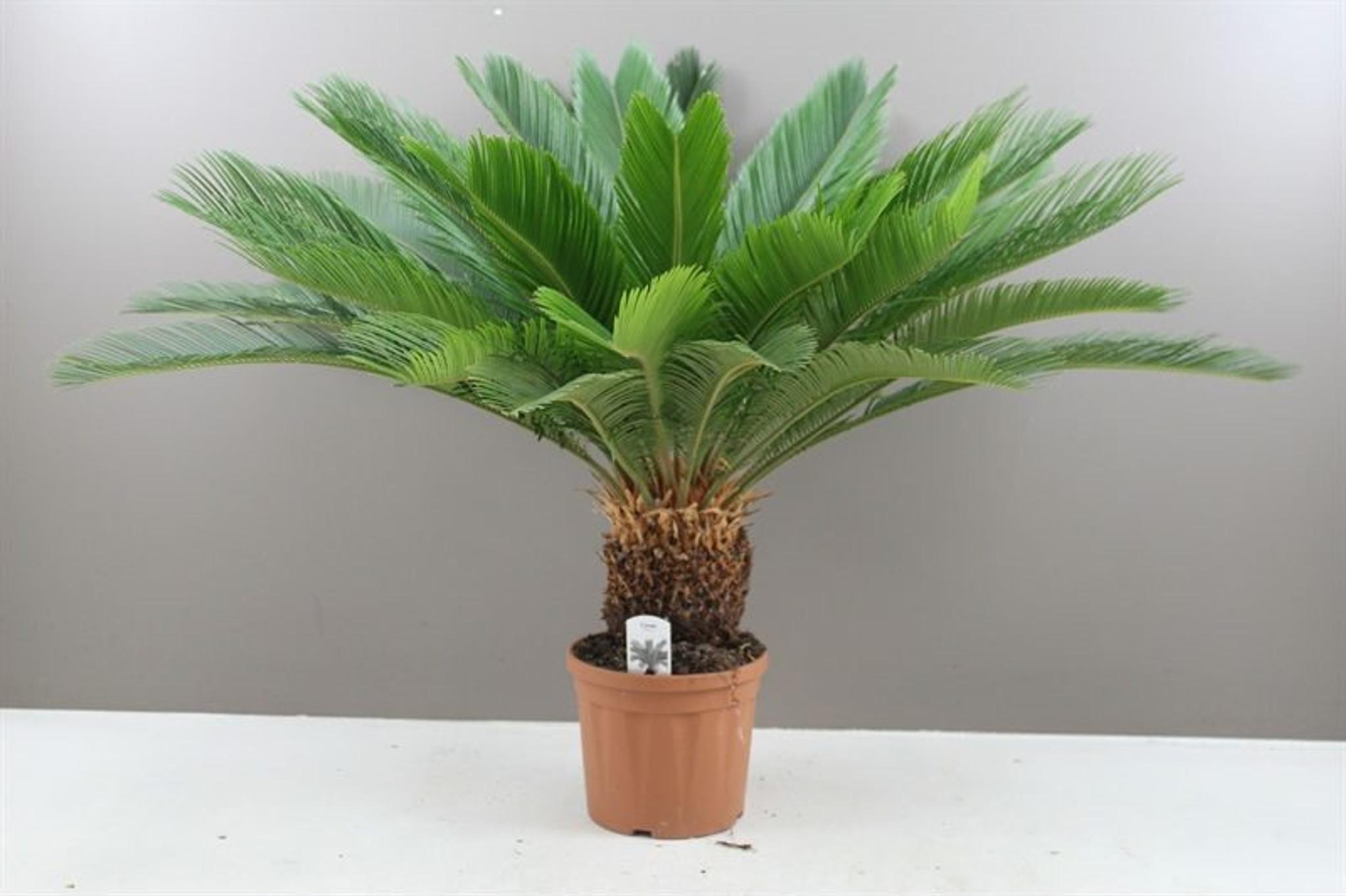 Best4Garden Cycas Sago Palm