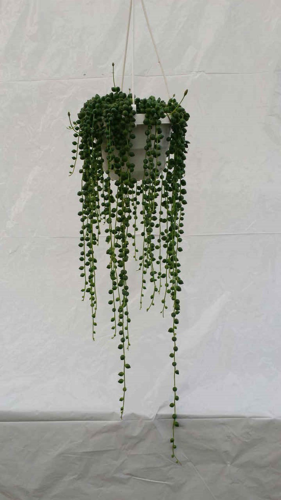 String of pearls hanging basket