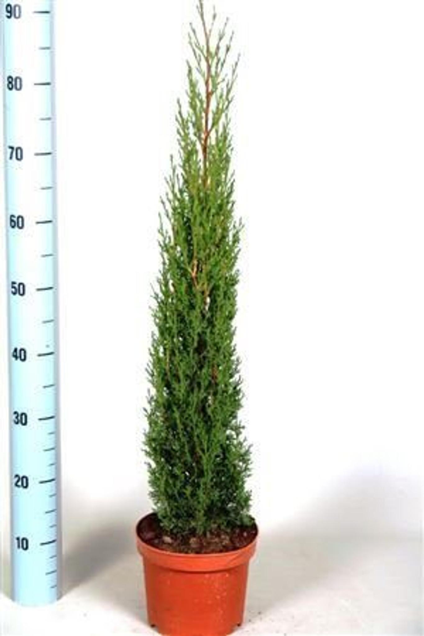 Conifer like Totem