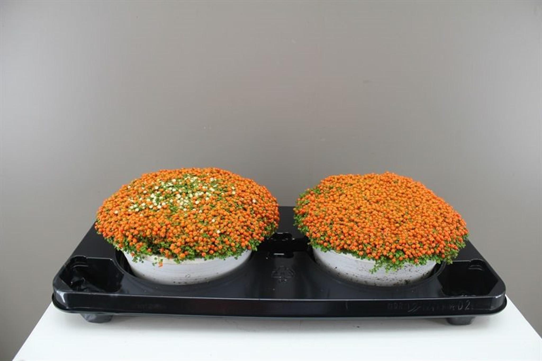 Pair of Orange Bead Plants