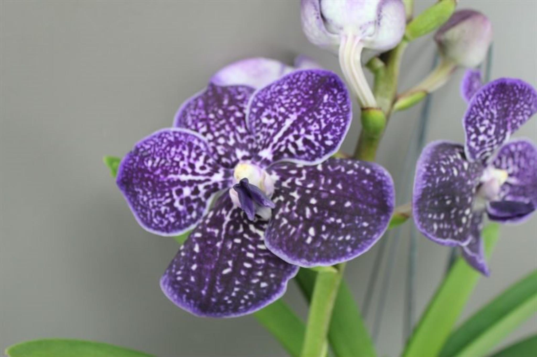 Blue Magic Orchid