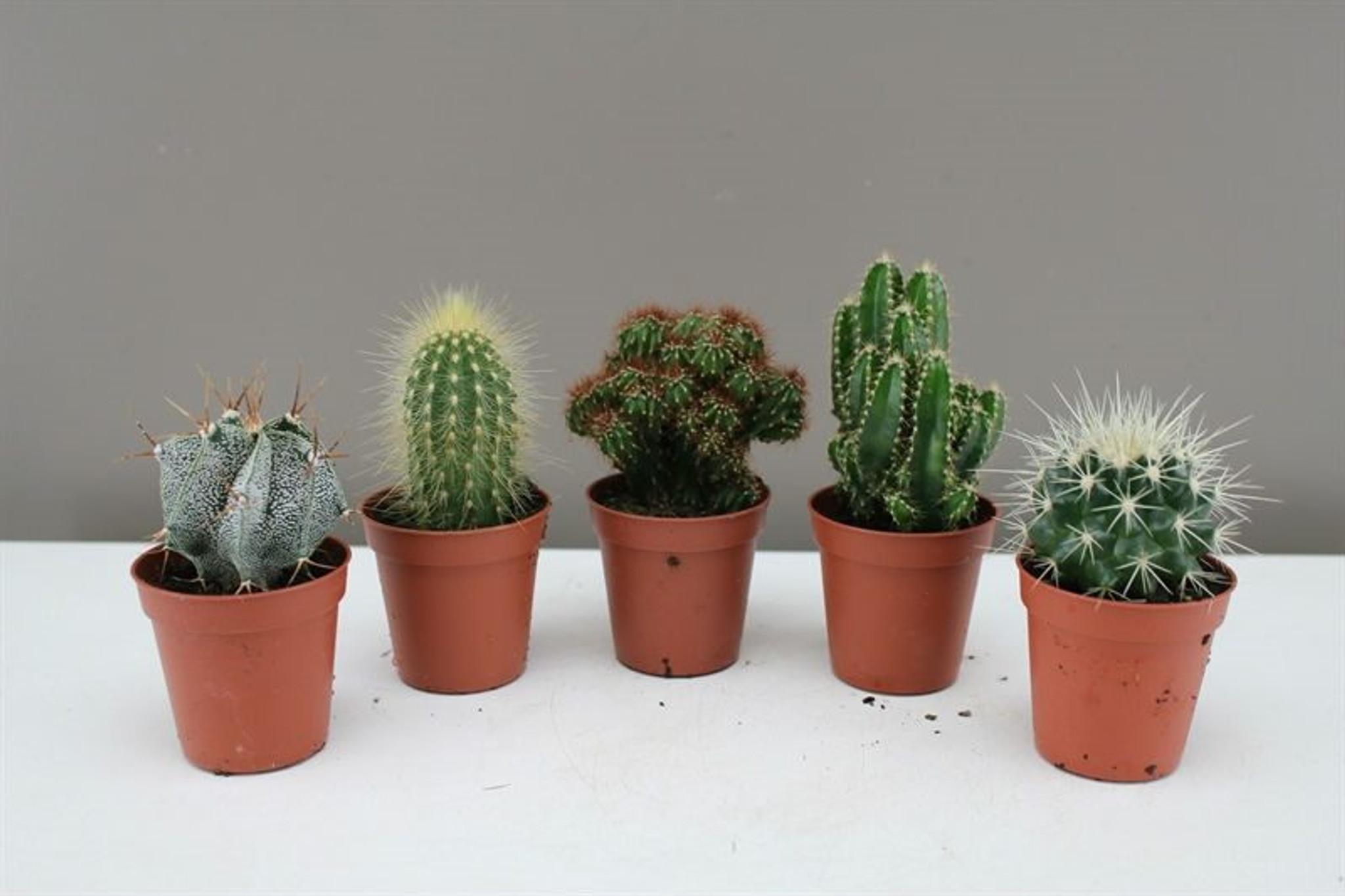 Small Cactus Gift Set