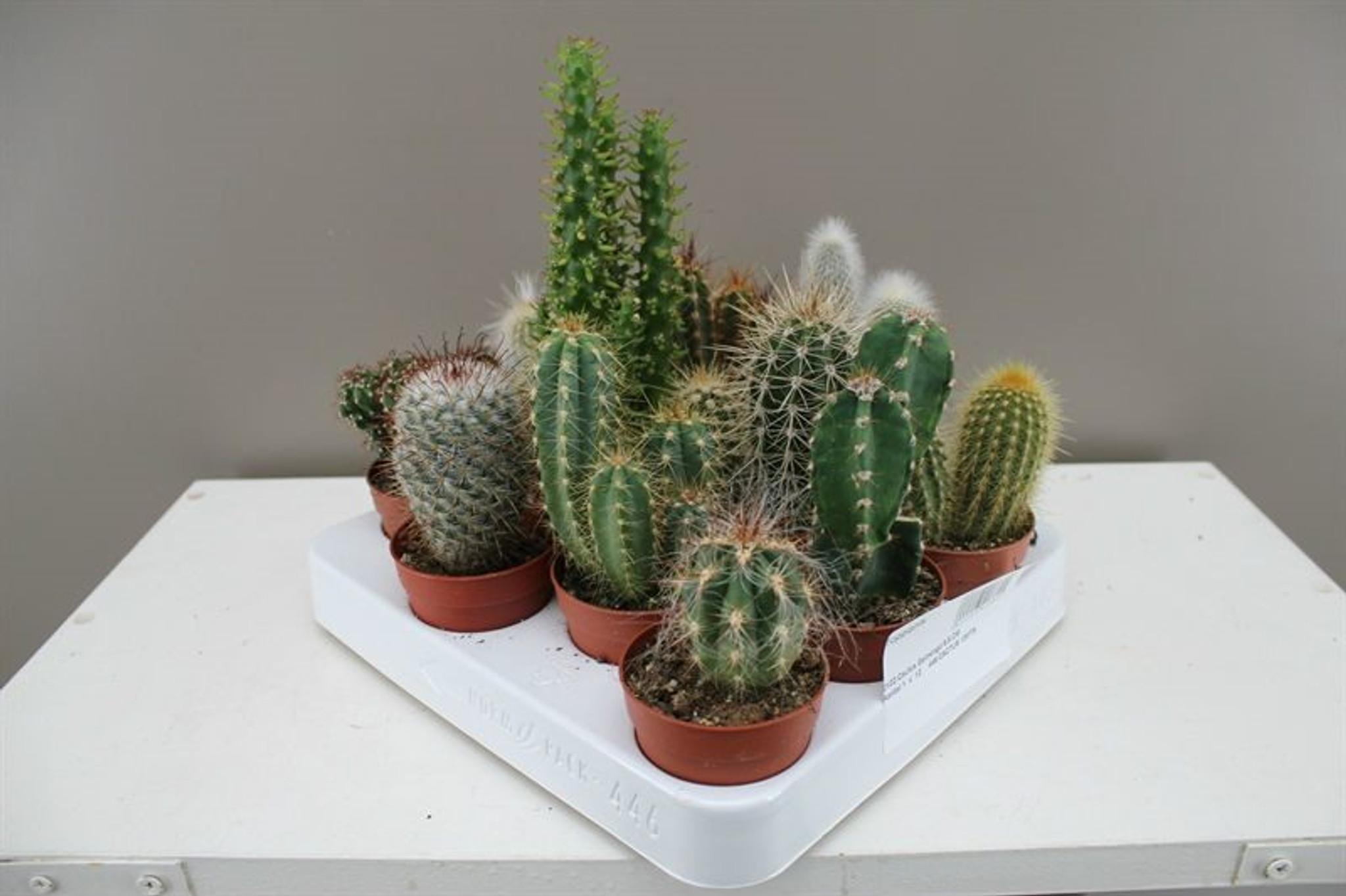 Large Cactus Starter Set