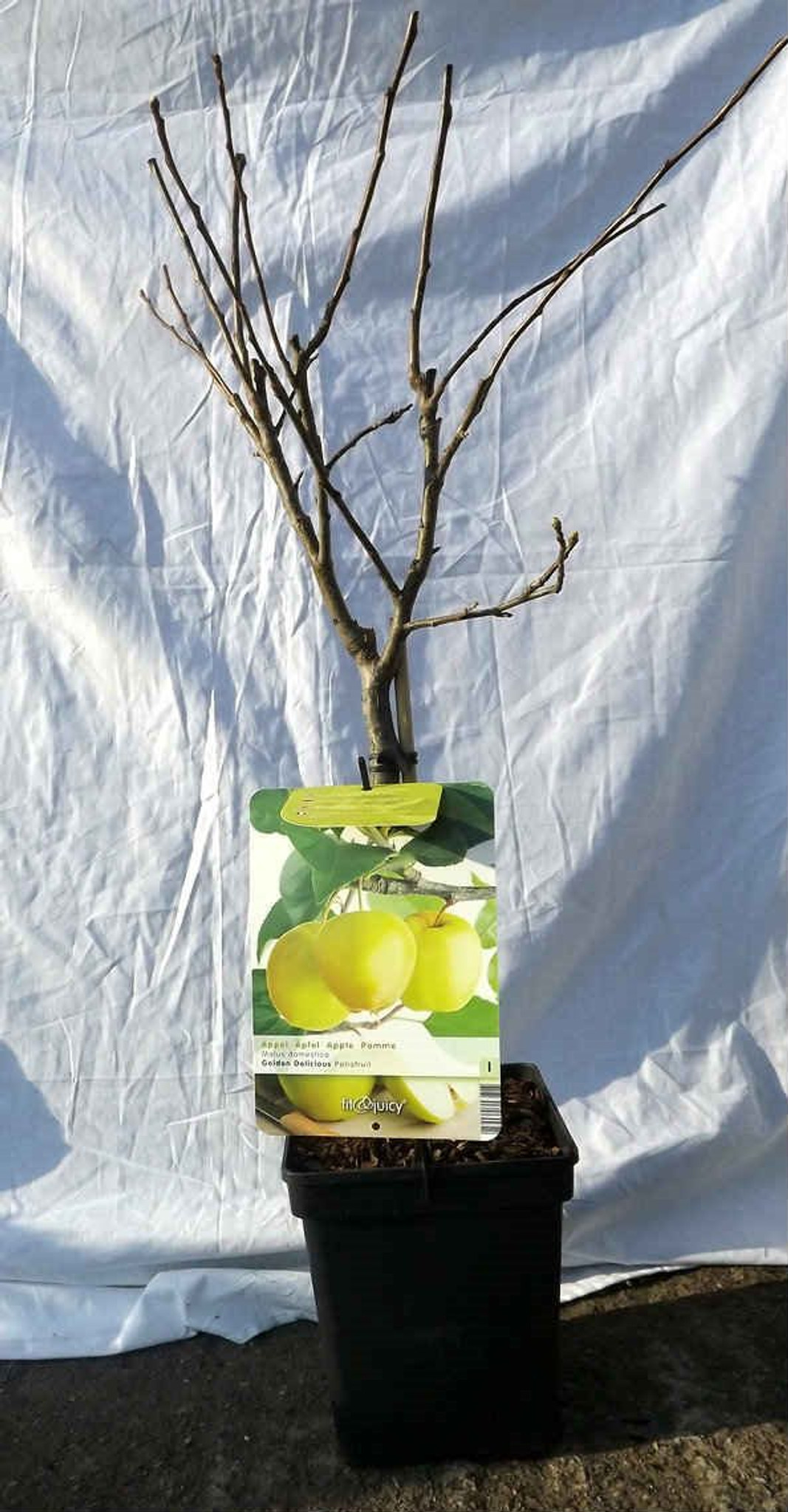Green dwarf apple tree