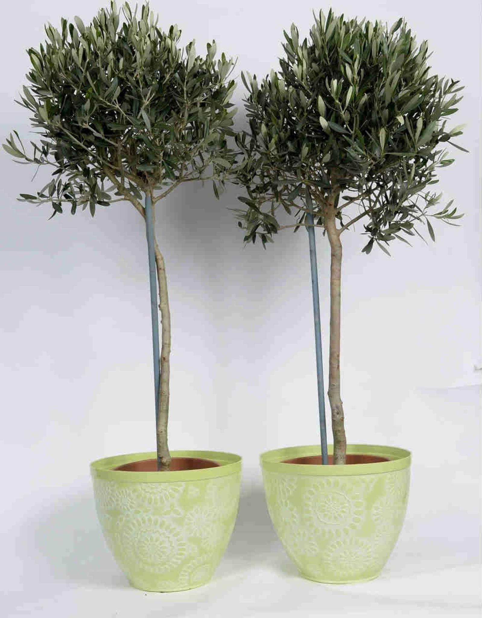 Light Green Floral pot with Olives