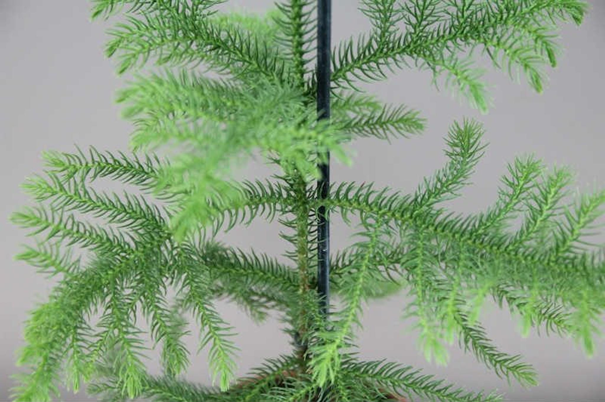 Araucaria heterophylla leaves