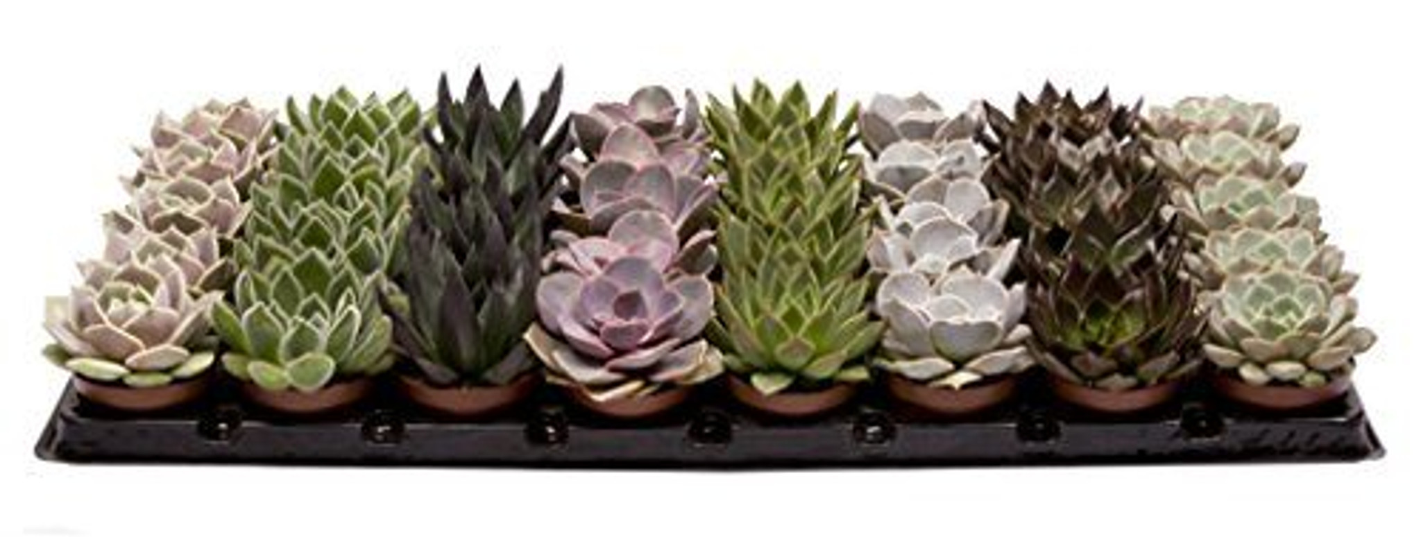 Set of 8 Echeveria Hybrid Succulent