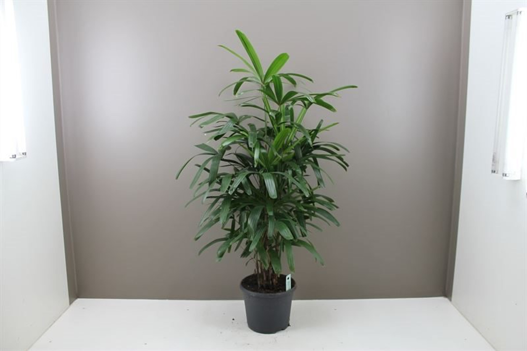 "Extra Large  Indoor Lady Palm  "" Rhapis Excelsa "" 120cm pot 24"