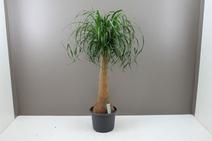 Thick stemmed indoor palm tree