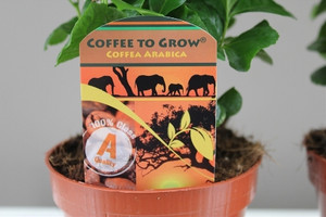 Coffee gift plant