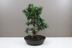 Large Banyan Fig Tree in Ceramic oval planter