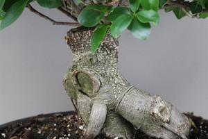 Fig Bonsai Tree