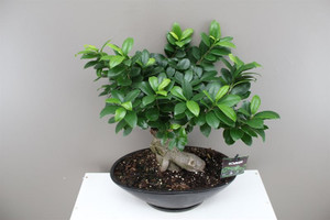 Ceramic Oval planter with Banyan Fig